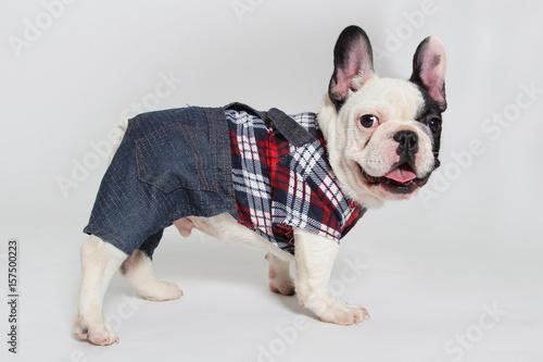 Aluminium Franse bulldog French bulldog puppy