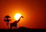 Silhouette of Angolan Giraffe, Giraffa camelopardalis angolensis, walking on horizon with solar disk behind its head. Red and dark orange background with plam tree silhouette. Zimbabwe, Hwange.