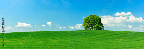 Panorama of Solitary Tree on Hill in Green Field under Blue Sky - 157514618