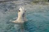 Eisbär mimmt ein Bad und schaut aus dem türkisfarbenen Wasser