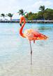 Постер, плакат: Pink Flamingo on the beach Aruba island Caribbean sea