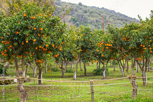 Orange tree with fruits in Greece