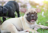 Baby French bulldog puppy. Dog on the grass field.