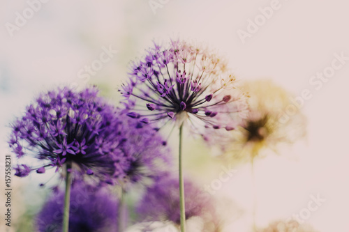 Flower purple sunrise - 157558231