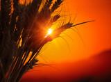 Ears of wheat in the field. Evening light
