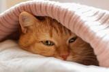 red cat hiding under blanket pink