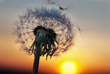 white Dandelion in the sky with the sun