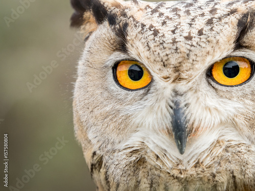Close up portrait of an eagle owl (Bubo bubo) with yellow eyes