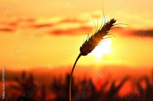 Foto op Plexiglas Bruin Ear of wheat in the field, drought. Evening light