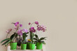 Blossoming orchids Phalaenopsis stand in a row on a wooden rack. Place for your text. Beige background.