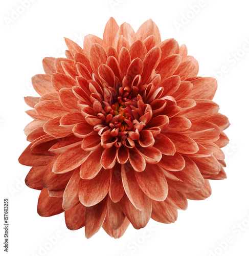Foto op Canvas Baksteen Red flower chrysanthemum on white isolated background with clipping path. Closeup. no shadows. Nature.