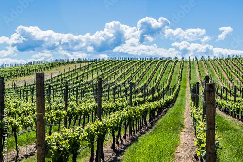 Fotobehang Wijngaard Vineyard in Springtime: Rows of Grapes under a blue sky