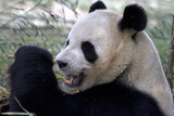 Giant Panda. Ailuropoda melanoleuca