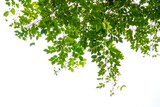 Green tree branch isolated - 157620442
