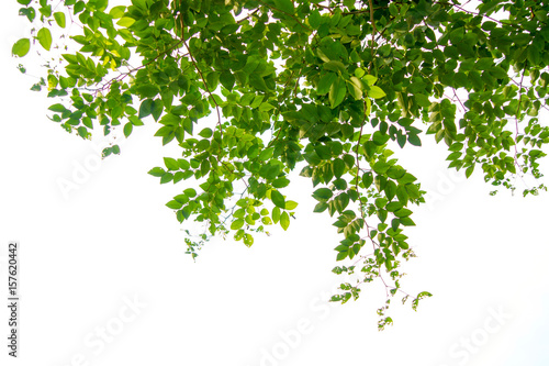 Foto Murales Green tree branch isolated