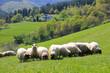 ovejas rebaño país vasco U84A1557-f17