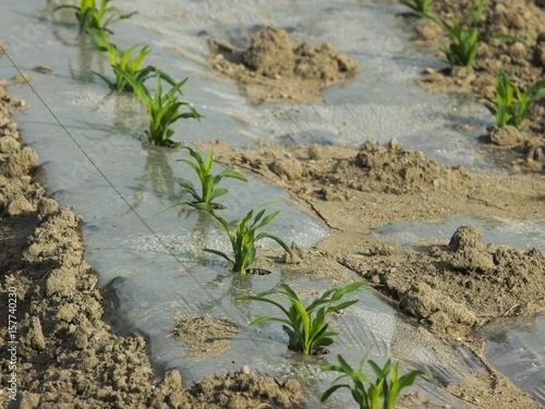 植えられたばかりのトウモロコシ畑 Plakát
