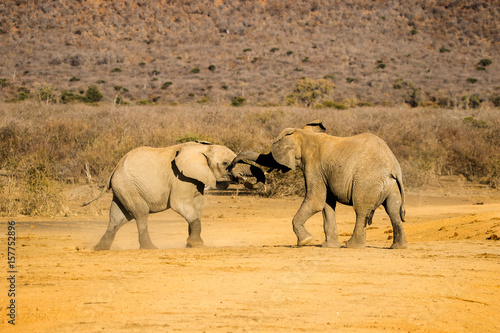 Wild African Elephant Size does matter Poster