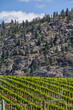 Vineyard in Springtime: Rows of Grapes in a mountain valley