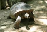 Aldabra Riesenschildkröte Seychellen