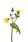 Sow-thistle flower and foliage - 157865286