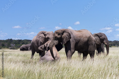 Elephants playing in a water hole Poster