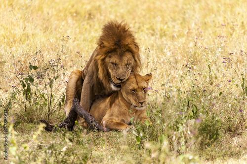 Papiers peints Hyène Mating Lions.
