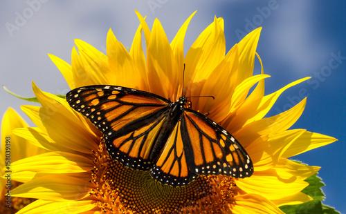 Monarch Butterfly na słonecznika