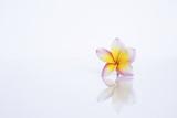Beautiful Plumeria flower isolate on white background