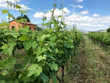 A vineyard full of grape vines at this winery in Castiglione, Sicily - Italy