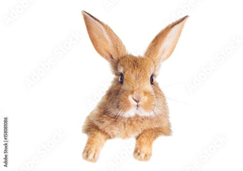 Śmieszny królik rudy zerkające