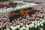 Field of tulips2