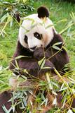 Giant panda is eating  bamboo.