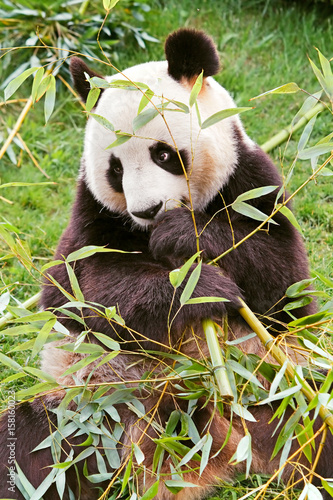 Aluminium Panda Giant panda is eating bamboo.