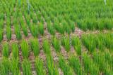 Onion farm agriculture
