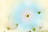 soft focus cosmos flower