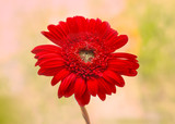 Red Gerber flower on light background, selective focus, spring landscape, macro. Blank cards, print, abstract background