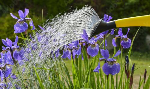 Fotobehang Iris watering iris flowers