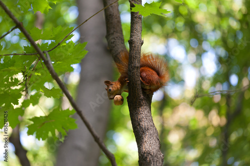 Staande foto Kameleon Red squirrel on tree with walnut in mouth and looking down