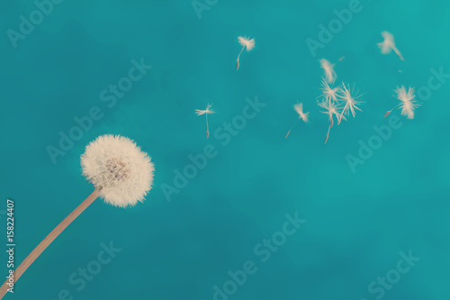 White dandelion head blowball with flying seeds on blue background, retro toned