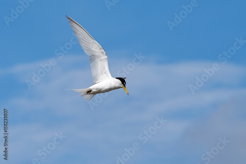 Fotobehang The little tern flew freely in the blue sky surrounded by white clouds.