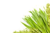 Young barley grass. - 158246612