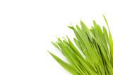 Young barley grass. - 158246613