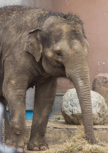 asian elephant baby in the park Poster