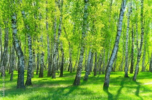 Fototapeta birch grove on a sunny day