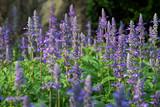 soft focus beautiful flowering purple meadow with Blue Salvia in garden
