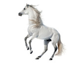 white rearing andalusian stallion isolated on white
