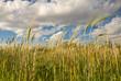 wheat stalks against a blue sky