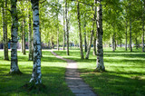Young, green birch trees in spring forest, the rays of the rising sun. Spring, summer background