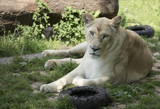 White female lion in zoo.